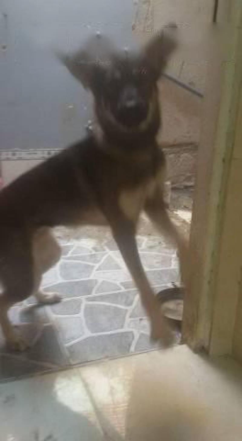 Bán chó becgie nga 6 tháng