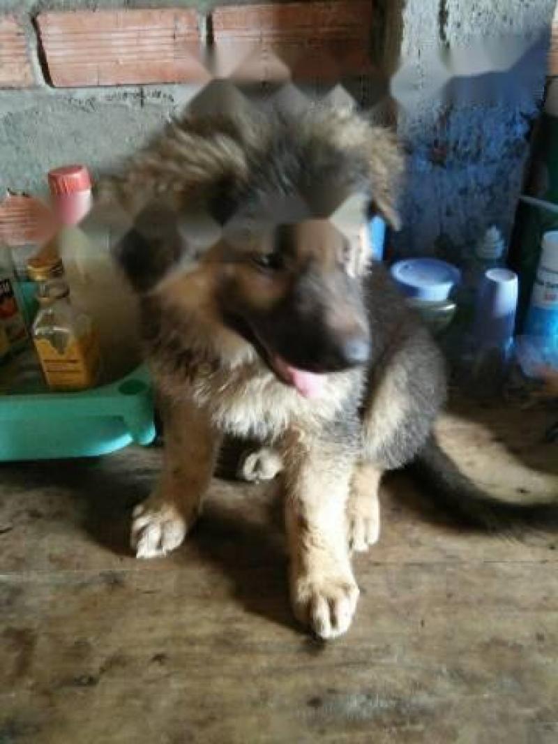 Chó becgie thuần chủng đức (lông xù)