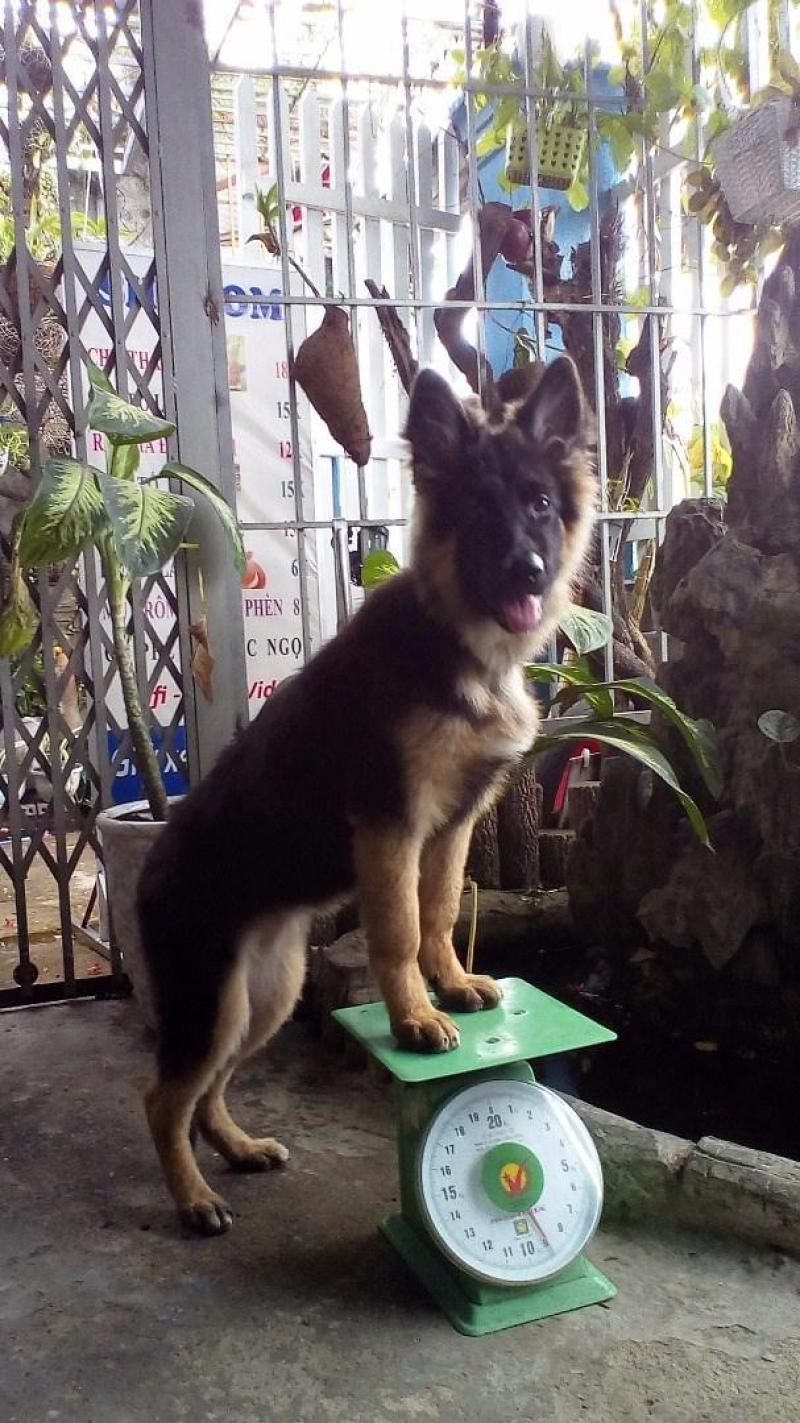 Bán chó beggie đức năm tháng tuổi