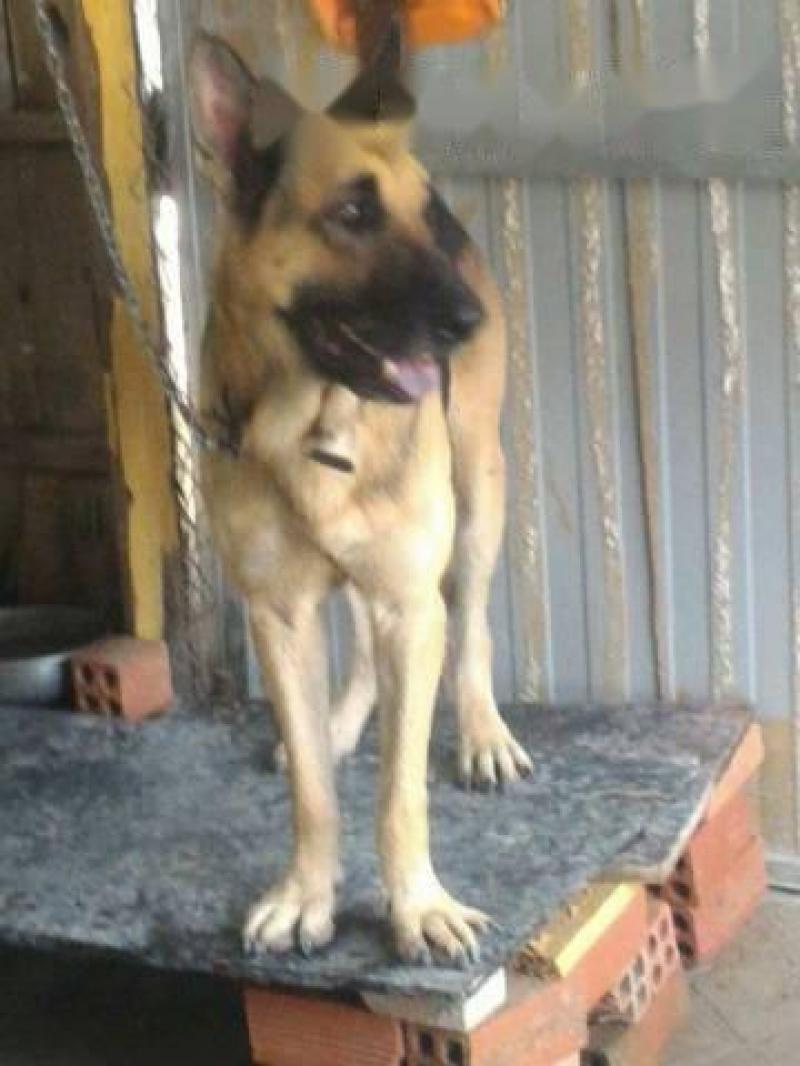 Bán chó becgie đức 100%, nặng 45 kí, 2 tuổi