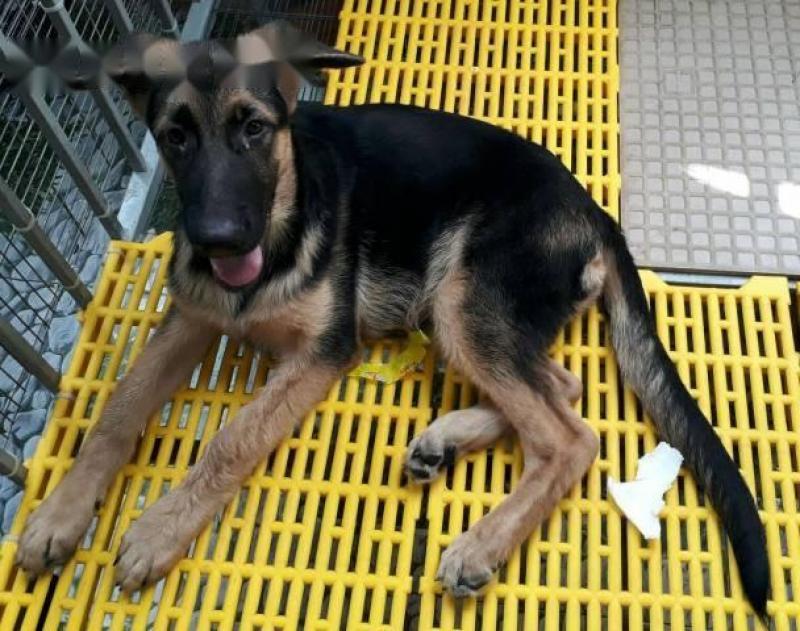 Cần bán chó becgie cái 3.5 Tháng