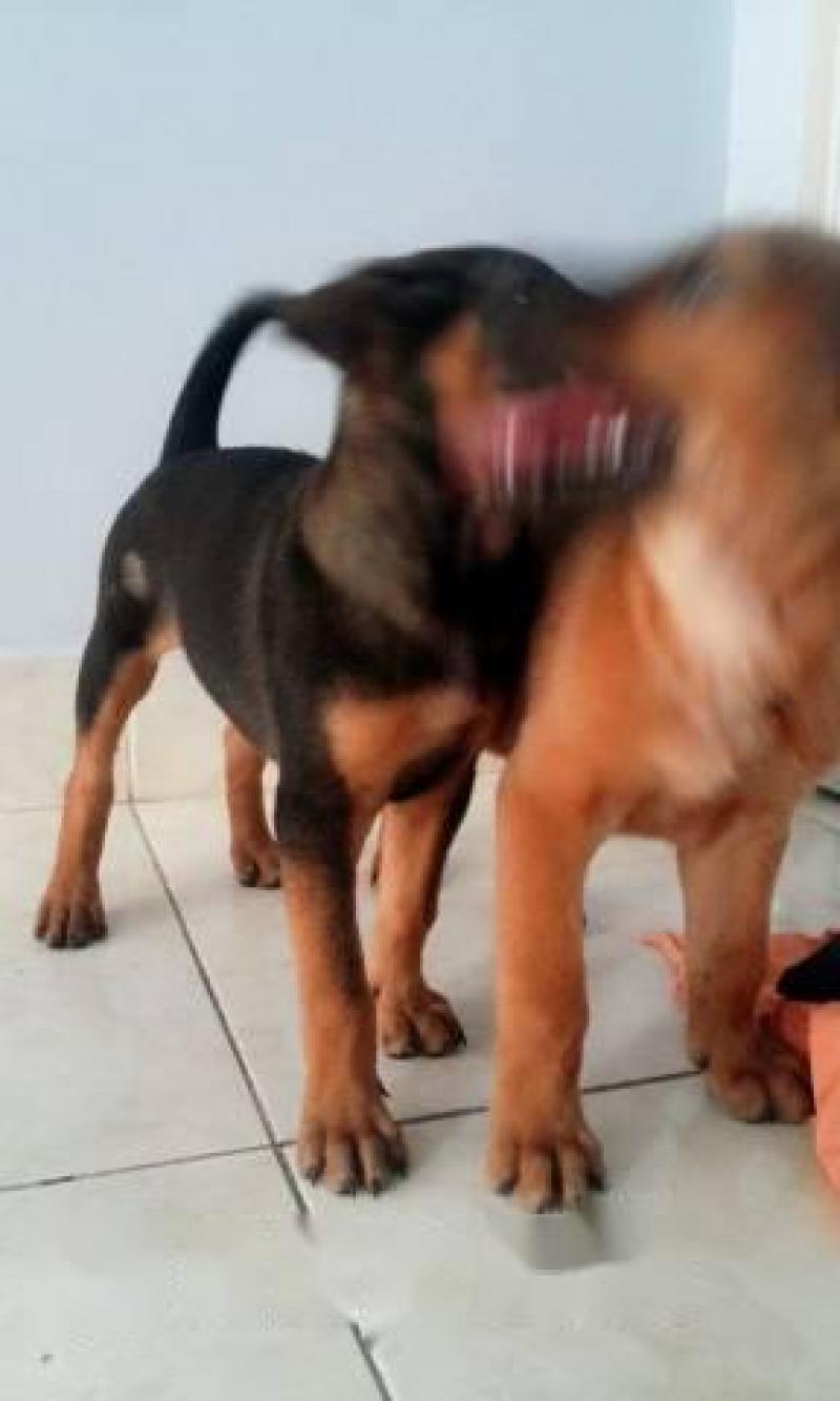 Cần bán chó becgie lai phú quốc