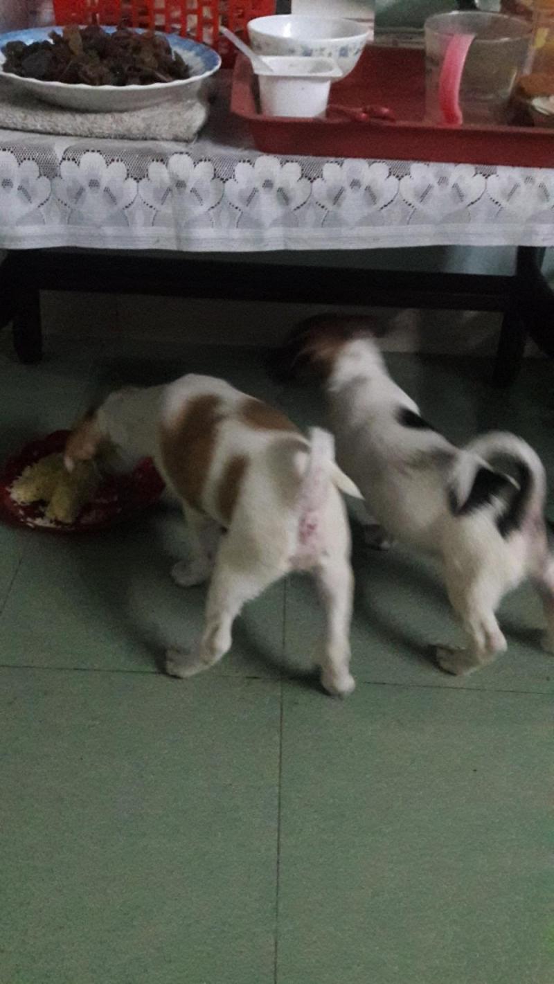 Bán chó becgie lai hmông hai tháng tuổi