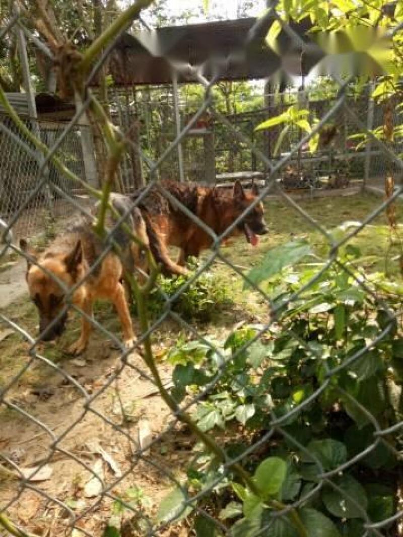 Bán chó becgie cái 16 tháng