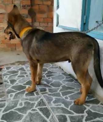Bán chó becgie thuần 100% (đực 20kg)