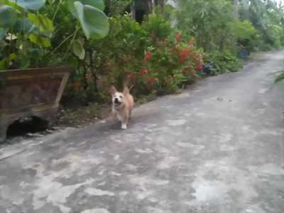 Bán chó Becgie lai hơn 3 tháng