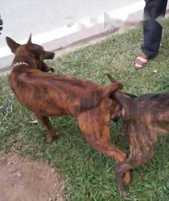 Mình không chăm nữa cần bán lại em chó Phú Quốc đực canh nhà rất giời với giá shock cho mọi người lấy nhanh.