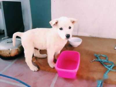 Cần bán chú chó nhỏ màu trắng rất đáng yêu