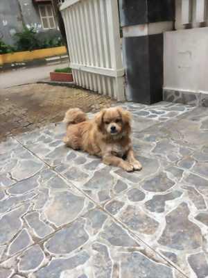 Cần bán chó Cocker Tây ban nha giá rẻ 2.000.000 đồng