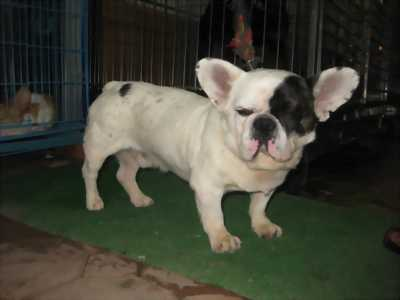 Chó bull pháp có giấy vka
