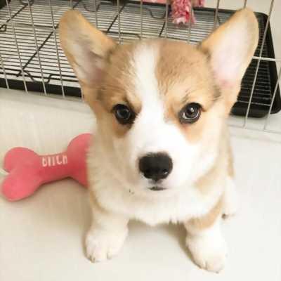 Chó corgi full VKA