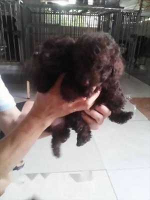 Poodle socola 3 tháng tuổi