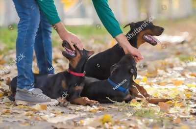 Chó doberman thuần chủng