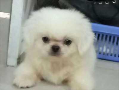 Cần tìm nhà mới cho bốn em chó BẮC KINH, để lại với giá hữu nghị.