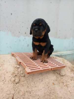 Địa chỉ bán và phối rottweiler uy tín tại HCM