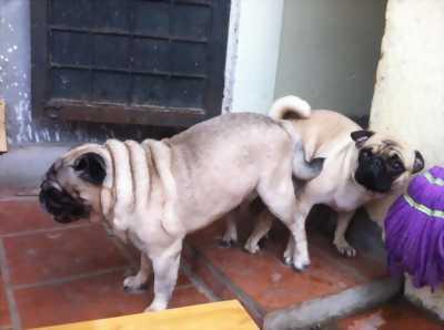 Chó Pug phối giống