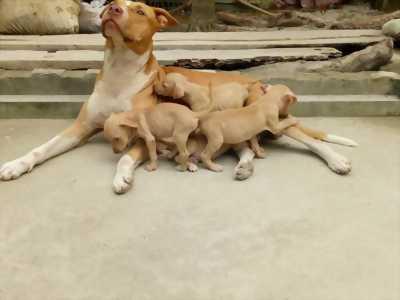Bán em pitbull cái nặng 35kg