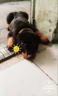Chó con Rotterwei