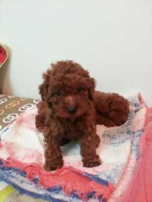 Poodle cái tơ 11 tháng và Poodle đực 5 tháng rưỡi