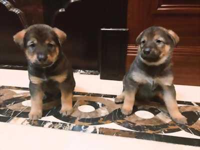 Chó con lai... còn hai đực hai cái, siêu mập, đẹp