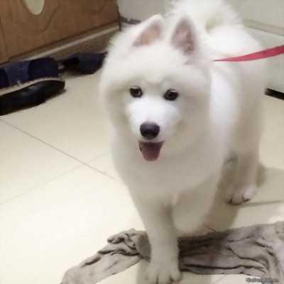 Samoyed 7 tháng tuổi