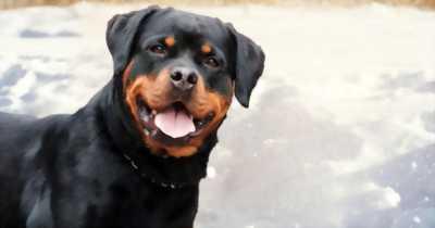 Bận công việc nên tìm chủ mới cho hai e Rottweiler