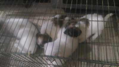 Bán chó nhật lông xù ở Sóc Trăng