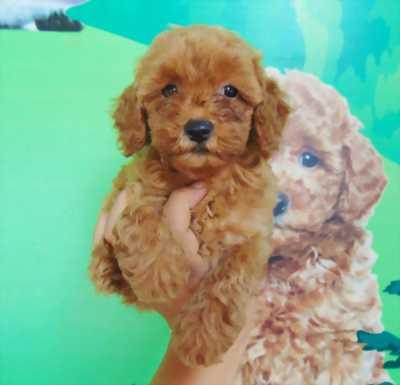 Chó Poodle Lông Xoăn