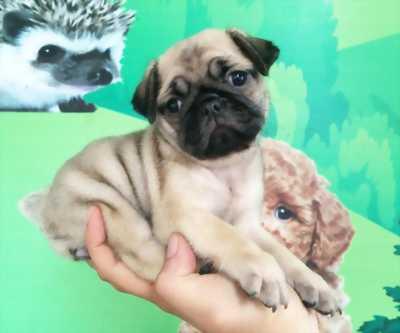 Chó Pug ( Mặt Xệ )