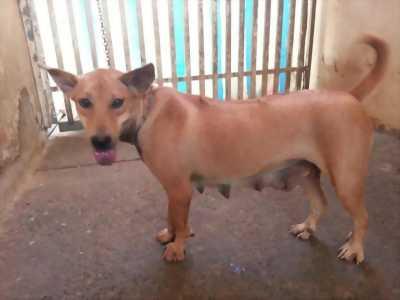 Chó phú quốc cái nuôi 10 tháng nặng 12 cân..