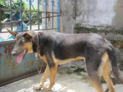 Chó lai đẹp 4th khoang 13.14kg đã biết trông nhà