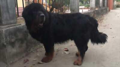 Bán chó ngao đen