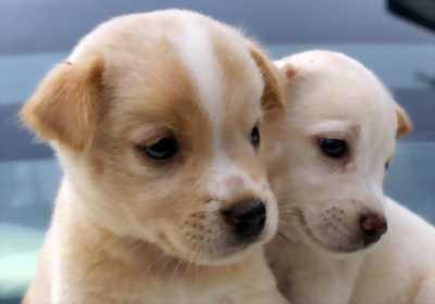 Cần bán đàn chó ta 8 con