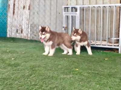 Alaska nâu đỏ lai husky 2 tháng tuổi