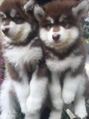 Alaska nâu đỏ đậm lai husky 2 tháng