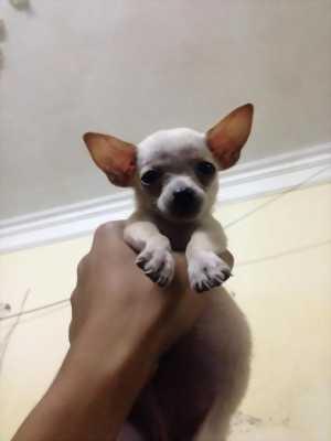 Chó chihuahua mini 3 tháng tuổi