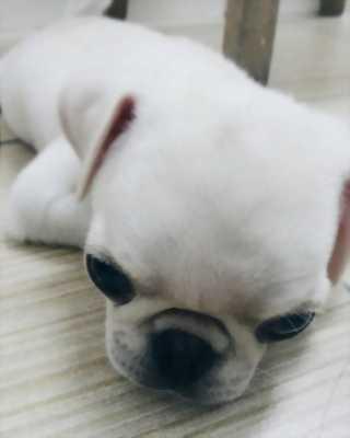 Pug cái trắng hơn 2 tháng tuổi