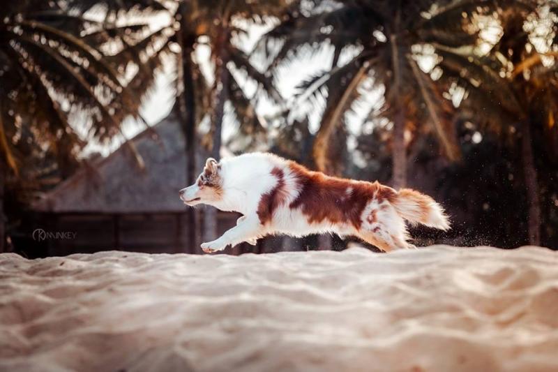Bán và Phối Chó Border Collie chó thông minh nhất thế giới