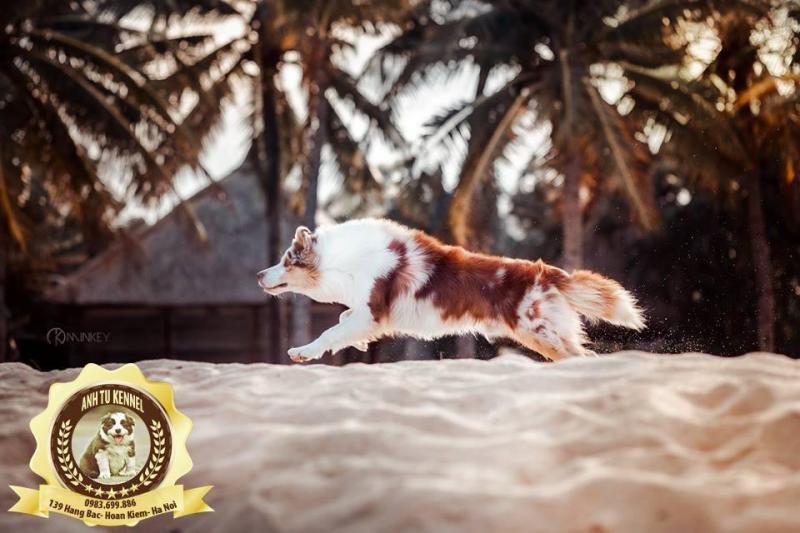 Bán và phối chó border collie chó top 1 thông minh