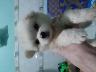 Chó phốc sóc 2 tháng tuổi siêu đáng yêu