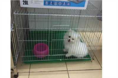 Bán chó FOX 3 tháng tuổi màu trắng như hình, giá cả trao đổi trực tiếp