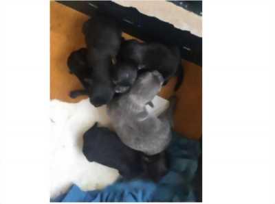 Chó con CHIHUAHUA mới 10 ngày, rất dễ thương, đực cái có đủ, giá cả thương lượng