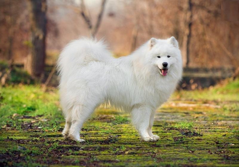 Các giống chó cảnh sang chảnh nhất trên thế giới