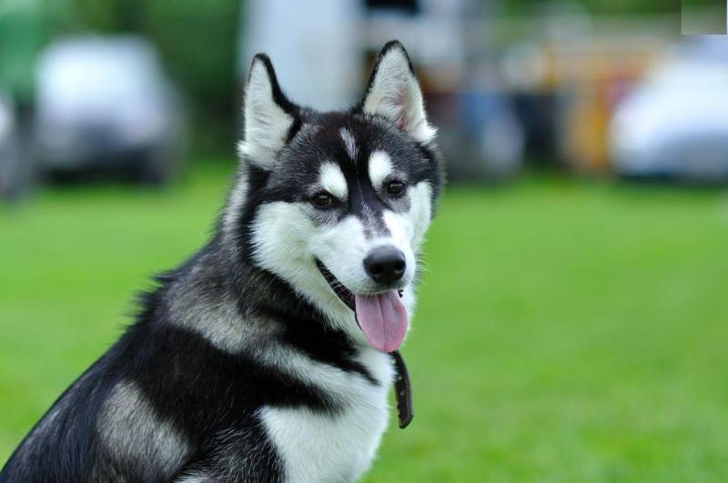 Giá 1 con chó giống Husky thuần chủng là bao nhiêu tiền