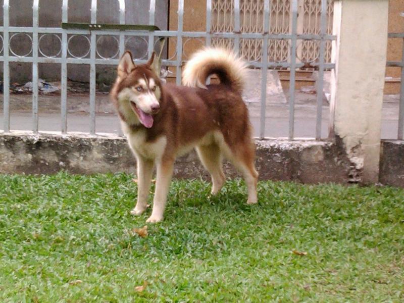 Các giống chó sói tuyết siberian Husky có đặc điểm gì Màu nâu đỏ đẹp không?