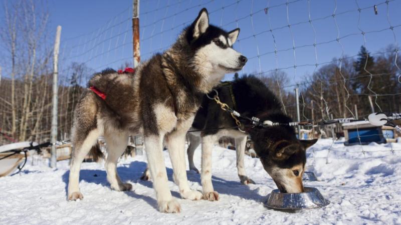 Nên cho chó Husky ăn gì? chọn thức ăn như thế nào tốt nhất