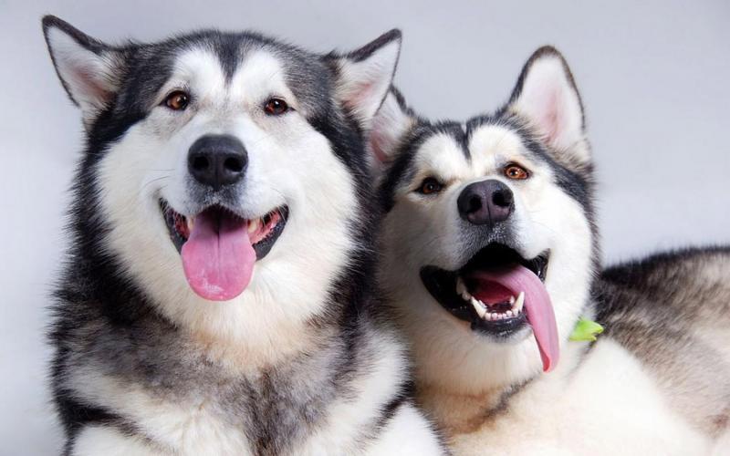 Phân biệt Chó Husky và Alaska không khó