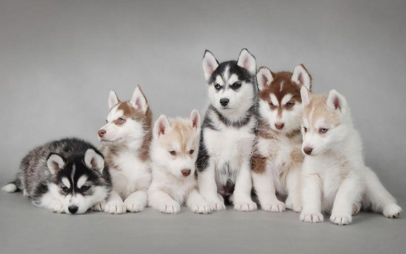 Các phương pháp chăm sóc và huấn luyện chó Husky