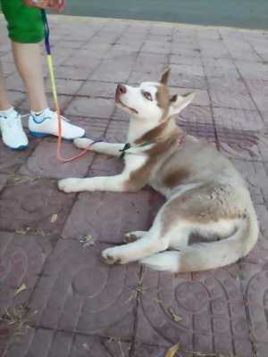 Bán Husky sáu tháng tuổi