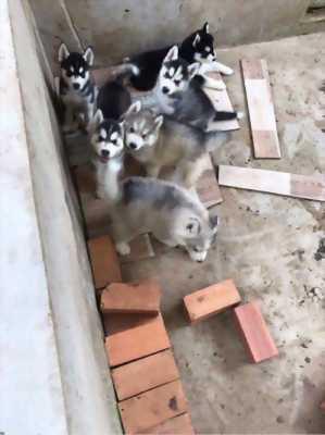 Bán chó Husky thuần chủng hai tháng tuổi
